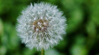 Dandelion, Bunga Liar yang Bermanfaat Sebagai Tanaman Obat
