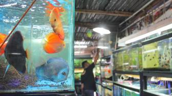 Suasana Peternakan Ikan hias di kolam Pusat Promosi Ikan Hias di Jalan Sumenep, Jakarta Pusat, Kamis (15/11). (Suara.com/Fakhri Hermansyah)