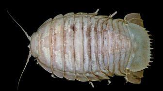 LIPI Temukan Kecoa Laut Raksasa, Penampakannya Bikin Merinding