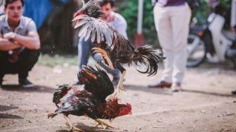 Gerebek Sabung Ayam, Petugas Polisi Tewas Kena Taji Ayam Aduan