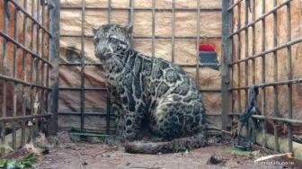Kerap Makan Kambing Warga, Macan Dahan di Limapuluh Kota Diperangkap