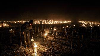 Nyala Api Lilin Hangatkan Kebun Anggur di Prancis