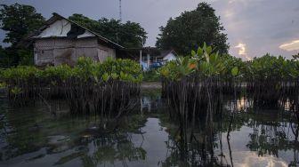 Tanaman-tanaman bakau muda tumbuh di dekat permukiman Pulau Sabira, Kabupaten Kepulauan Seribu, DKI Jakarta, Minggu (20/6/2021). [ANTARA FOTO/Aditya Pradana Putra]