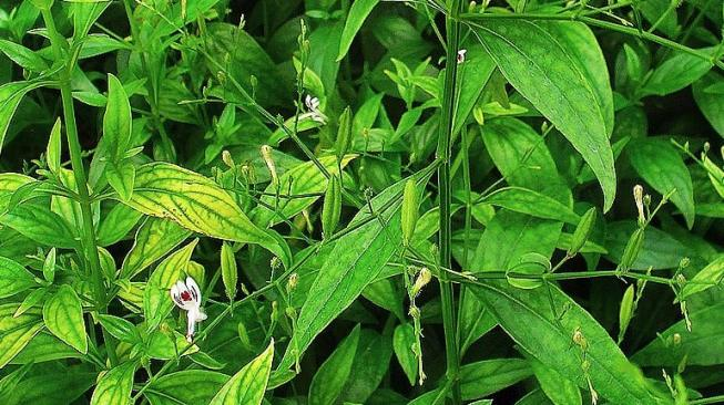 Bitter leaf, an Indonesian herb that can actually help fight the Covid-19 corona virus.