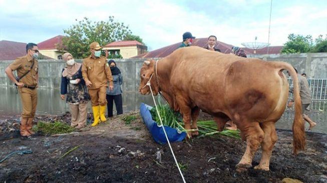 Penampakan Sapi Kurban Jokowi untuk Warga Riau, Segini Bobotnya