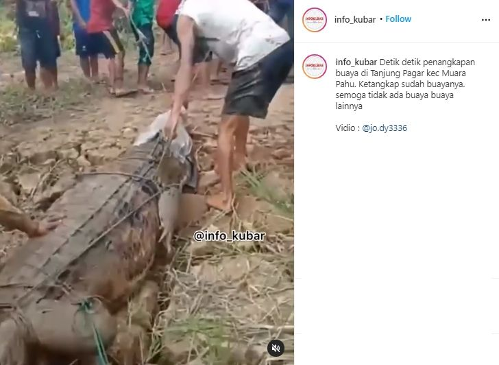 Penangkapan Buaya Raksasa di Muara Pahu. (Instagram/info_kubar)