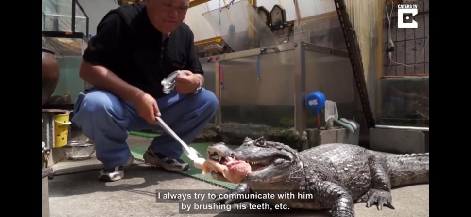 Viral lelaki Jepang pelihara aligator (screen capture YouTube Japanese Man Lives with Giant Pet Caiman)